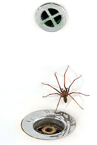 European common house spider (Tegenaria atrica) in washbasin / sink next to plug-hole, Belgium - Philippe Clement