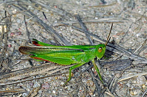 Band winged grasshopper (Paracinema tricolor) on the ground, La Brenne, France  -  Philippe Clement