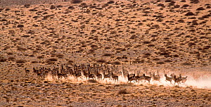 Herd of Black Tailed Gazelle (Gazella subgutturosa) running, Gobi Desert, Mongolia  -  Eric Dragesco