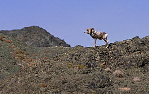 Large male Argali sheep (Ovis ammon) standing on mountain side, Gobi National Park, Mongolia - Eric Dragesco