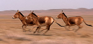 Three Asiatic Wild Ass (Equus hemionus) running, Gobi National Park, Mongolia  -  Eric Dragesco