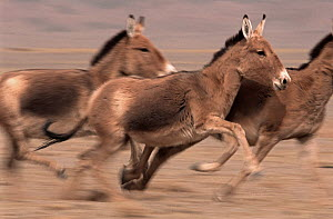 Small herd of Asiatic Wild Ass (Equus hemionus) running, Gobi National Park, Mongolia  -  Eric Dragesco
