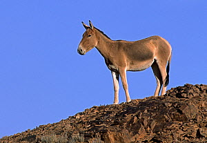 Asiatic Wild Ass (Equus hemionus) portrait, standing against blue sky, Gobi National Park, Mongolia  -  Eric Dragesco