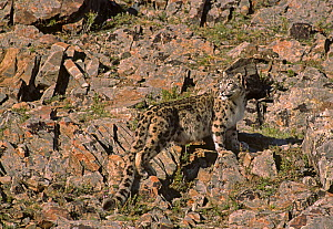 Wild female Snow Leopard (Panthera uncia) standing camouflaged on rocky mountainside, at an altitude of 2500m, Altai mountains, Mongolia. July NB-This female probably has cubs: the fur around the teat...  -  Eric Dragesco