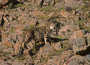 Wild female Snow Leopard (Panthera uncia) portrait, standing camouflaged on rocky mountainside, at an altitude of 2500m, Altai mountains, Mongolia. July . NB-This female probably has cubs: the fur aro...  -  Eric Dragesco