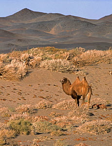 Wild Bactrian Camel (Camelus bactrianus) standing in desert landscape with Saxaul trees (Haloxylon ammodendron) Gobi National Park, Mongolia - Eric Dragesco