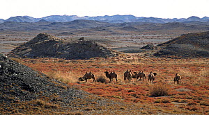 Herd of Wild Bactrian Camels (Camelus bactrianus) grazing in desert landscape, Gobi National Park, Mongolia  -  Eric Dragesco
