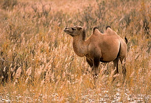 Young wild Bactrian Camel (Camelus bactrianus) standing in desert landscape, Gobi National Park, Mongolia  -  Eric Dragesco