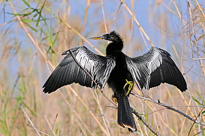 American Darter (Anhinga anhinga) perched in tree, with wings held out drying, Everglades, Florida, USA  -  Adrian Davies