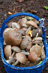 Mushrooms in a blue basket, collected by restaurant owner. Mainly Boletes / Leccinum, and Chanterelle. Surrey, England, UK, October 2010 - Adrian Davies