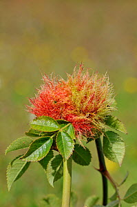 Robin's Pin Cushion / Bedeguar gall, on  Dog rose (Rosa canina) caused by the Gall Wasp (Diplolepis rosae) UK, September - Adrian Davies