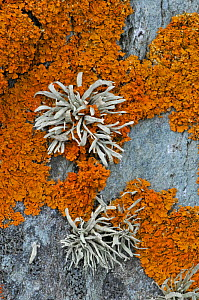 Orange coloured Seashore Lichens (Xanthoria parietina) and Sea Ivory (Ramalina siliquosa) UK, August - Adrian Davies