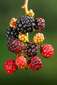 Blackberries (Rubus plicatus) fruit ripening on branch, close up,  Dorset, UK September 2008 - Colin Varndell