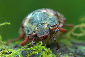 Cockchafer / May-bug (Melolontha sp) close-up head portrait, Dorset, UK May  -  Colin Varndell