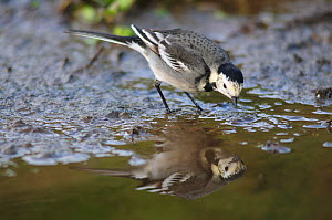 Pied wagtail (Motacilla alba yarrellii) in stream, with reflections, Dorset, UK December  -  Colin Varndell