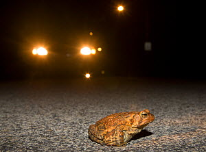 American toad (Bufo americanus) crossing road at night in front of car headlights, Philadelphia, Pennsylvania, USA, March  -  Doug Wechsler