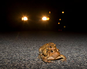 Male and female American toads (Bufo americanus) in amplexus on road at night, with car headlights behind. Philadelphia, Pennsylvania, USA. March - Doug Wechsler