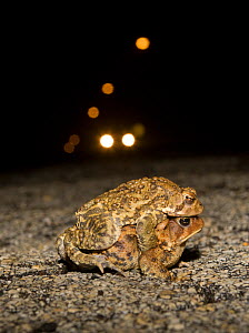 Male and female American toads (Bufo americanus) in amplexus on road at night, with car headlights behind. Philadelphia, Pennsylvania, USA - Doug Wechsler