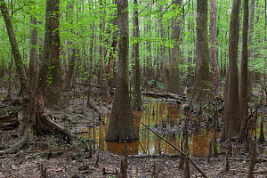 Bald cypress (Taxodium distichum) and Water tupelo (Nyssa aquatica) swamp. Congaree National Park, SC, USA. April  -  Doug Wechsler
