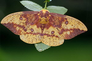 Imperial moth (Eacles imperialis) on leaves. Philadelphia, PA, USA - Doug Wechsler