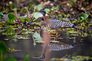 Sunbittern (Eurypyga helias) stalking the margins of the Pixiam River, with reflections, northern Pantanal, Brazil. September  -  Nick Garbutt