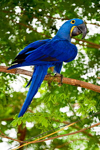 Hyacinth Macaw (Anodorhynchus hyacinthinus) in forest bordering of the Cuiaba River, Northern Pantanal, Brazil. September - Nick Garbutt