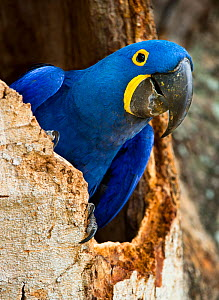 Hyacinth Macaw (Anodorhynchus hyacinthinus) head portrait at nest hole, in forest bordering of the Cuiaba River, Northern Pantanal, Brazil. September - Nick Garbutt