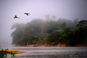 A pair of Toco Toucans (Ramphastos toco) flying across the Piquiri River at dawn, northern Pantanal, Mato Grosso, Brazil, September. (Digitally Modified)  -  Nick Garbutt