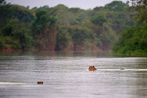 Wild female Jaguar (Panthera onca palustris) swimming across a channel of the Piquiri River (a tributary of Cuiaba River), while watching a startled Capybara (Hydrochaeris hydrochaeris) swimming the o... - Nick Garbutt
