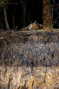 Wild female Jaguar (Panthera onca palustris) resting on the banks of the Piquiri River (a tributary of Cuiaba River). Northern Pantanal, Brazil.  -  Nick Garbutt