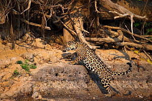 Wild female Jaguar (Panthera onca palustris) jumping up sandy bluff on the banks of the Piquiri River (a tributary of Cuiaba River). Northern Pantanal, Brazil. September - Nick Garbutt