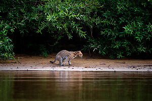 Wild Ocelot (Felis pardalis) on the banks of the Piquiri River (a tributary of Cuiaba River) Northern Pantanal, Brazil. September  -  Nick Garbutt
