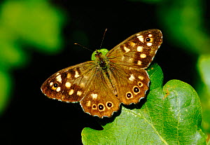 Male Speckled wood butterfly (Pararge aegeria) sunning on leaf, South London, UK, August - Russell Cooper