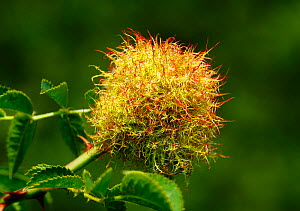 Bedeguar gall / Robin's pin cushion (Diplolepis rosae) growing on Dog rose (Rosa canina) South London, UK, August - Russell Cooper