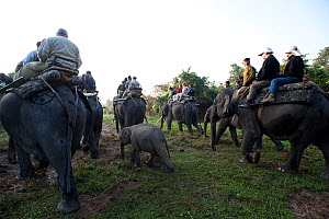 Tourists on an Elephant Safari, Asian elephants (Elephas maximus), Kaziranga NP, Assam, NE India  -  Toby Sinclair