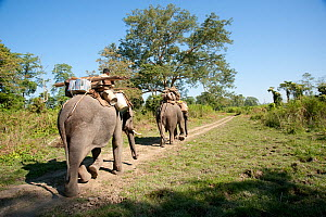 Asian elephants (Elephas maximus) used for carrying, Kaziranga NP, Assam, NE India  -  Toby Sinclair