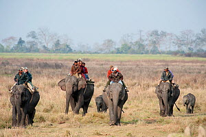 Tourists on an Elephant Safari, Asian elephants (Elephas maximus) with young elephants following, Kaziranga NP, Assam, NE India  -  Toby Sinclair