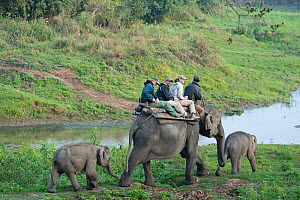 Tourists on an Elephant Safari, Asian elephants (Elephas maximus) with baby elephants following, Kaziranga NP, Assam, NE India  -  Toby Sinclair