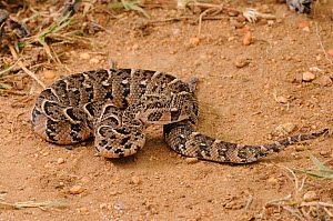 Puff Adder (Bitis arietans) juvenile male, coiled in sand,  deHoop NR, Western Cape, South Africa  -  Tony Phelps