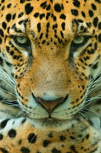 RF- Jaguar (Panthera onca) head portrait, captive. (This image may be licensed either as rights managed or royalty free.)  -  Edwin  Giesbers