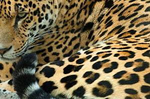 Jaguar (Panthera onca) portrait, lying down, captive - Edwin Giesbers