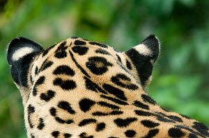 Jaguar (Panthera onca) head portrait,rear view, showing ear spots, captive - Edwin Giesbers