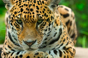 Jaguar (Panthera onca) close-up head portrait, lying down, captive - Edwin Giesbers