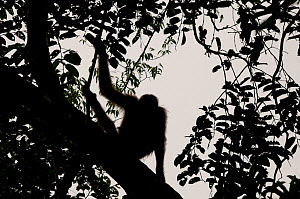 Orang utan (Pongo pygmaeus) portrait, silhouetted against sky on tree branch, Semengoh Nature reserve, Sarawak, Borneo, Malaysia, Endangered - Edwin Giesbers