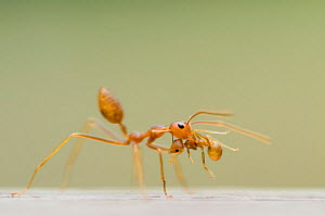 Two Fire ant (Solenopsis sp) workers, one carrying the other in its jaws. - Edwin Giesbers