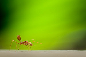 Two Fire ant (Solenopsis sp) workers, one carrying the other in its jaws, with green plant material behind - Edwin Giesbers