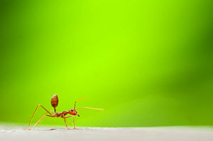 Fire ant (Solenopsis sp) worker, with green plant material behind  -  Edwin Giesbers