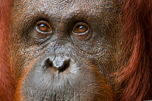 RF- Orang utan (Pongo pygmaeus) head portrait of female, Semenggoh Nature reserve, Sarawak, Borneo, Malaysia. Endangered. (This image may be licensed either as rights managed or royalty free.)  -  Edwin  Giesbers