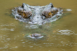 RF- Saltwater crocodile (Crocodylus porosus) partially submerged with ripples on water from raindrops. Sarawak, Borneo, Malaysia. (This image may be licensed either as rights managed or royalty free.) - Edwin  Giesbers