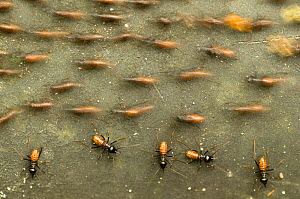 Termite (Hospitalitermes sp.) colony, with individuals moving in different directions, Sarawak, Borneo, Malaysia  -  Edwin Giesbers